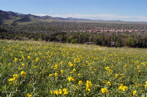 Photo - Meadow of golden banner flowers overlooks the city of Boulder.