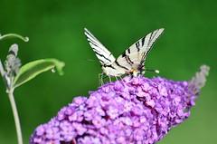Iphiclides podalirius (ffruzsi.) Tags: light summer beautiful sunshine weather butterfly out nikon warm purple bright side wing lila organ lilac podalirius 2013 d5100 phiclides