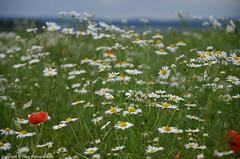 Wildblumen (yasar.klotz) Tags: sommer wiese wiesen blumen makro blte kamille blten pusteblume akelei mohnblume margeriten wildblumen sptsommer wiesenblumen sommerwiesen