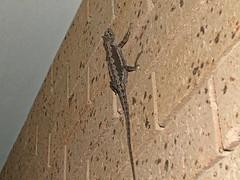 Agamidae Agaminae>Pogona minor Western Bearded Dragon DSCF5950 (Bill & Mark Bell) Tags: exmouth westernaustralia australia geo:town=exmouth geo:state=westernaustralia geo:country=australia geo:lon=11425453egeolat2217752sgeoalt8m 11425453e2217752salt8m taxonomy:kingdom=animalia animalia taxonomy:phylum=chordata chordata taxonomy:class=reptilia reptilia taxonomy:order=squamata squamata taxonomy:family=agamidae agamidae taxonomy:genus=pogona pogona minor taxonomybinomialnamepogonaminor pogonaminor taxonomycommonnamewesternbeardeddragon westernbeardeddragon animal fauna lizard