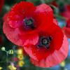 For you also - Bye (Pilar Azaña Talán ) Tags: life light naturaleza color luz nature recipe vida poppies receta amapolas seleccionar pilarazaña