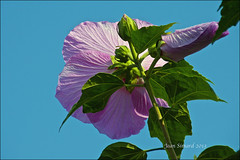 Rose Of Sharon (Jeannot7) Tags: pink flowers blue sky ontario backyard hibiscus roseofsharon cobourg