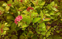 smartphone magiccarpet spiraea 5mpcamera huaweiascendy300 (Photo: aaekoxon on Flickr)
