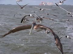 Flight (christrocks) Tags: seagulls bird pelicans water birds flying seagull flight pelican