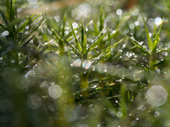 Moss in the morning light (iLikePhotos!) Tags: autumn closeup droplets moss waterdrop belgium bokeh herbst moor venn moos wassertropfen belgien naturschutzgebiet hohesvenn 1000v explored brackvenn hautesfagne olympusomdem5