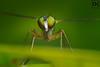 Long Legged Fly! (AlkhashabNawaf) Tags: macro green up grass canon bug insect photography 50mm fly wings eyes long close pentax flash tube insects bugs 17 extension speedlight legged nawaf 600d alkhashab