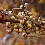 Poison Ivy berries thumbnail
