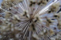 Autumn (De Rode Olifant) Tags: autumn nature herfst natuur allium marjansmeijsters