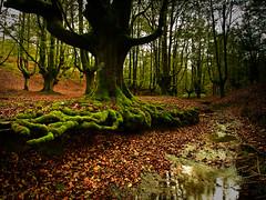 El Hayedo de Isabel (Kepa_photo) Tags: colors digital hojas autum olympus bosque otoño bizkaia zuiko euskalherria 43 haya basoa hayedo colordeotoño kepaphoto kepaargazkiak elhayedodeisabel
