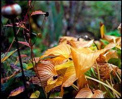 more autumn colours (manni39) Tags: autumn mamiya film rural vintage mediumformat garden countryside fuji superia herbst vintagecamera 6x7 garten rollfilm fujisuperiaxtra400 rb67 ländlich sekor mittelformat moyenformat mamiyasekor mamiyasekor127mm38