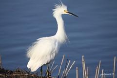 """Snowy Egret""   ""Egretta thula"" (jackhawk9) Tags: nature birds canon newjersey wildlife ngc southjersey herons snowyegret egrets egrettathula edwinbforsythenationalwildliferefuge jackhawk9"