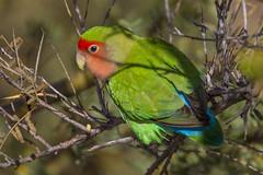 Rosy-faced Lovebird (Eric Gofreed) Tags: arizona peachfacedlovebird rosyfacedlovebird gilbertwaterranch mericopacounty lovebirdparrot