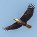 Conowingo-Eagles-3243-2 jpg