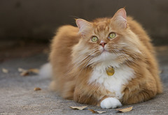 Me Lene Amadeus (salar hassani) Tags: red orange me cat ginger eyes maine coon amadeus lene alittlebeauty