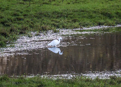 Little Egret (md93) Tags: white bird heron pond frogs irvine ayrshire littleegret bourtreehill capringstone