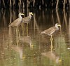 Wattled Plover (Oldt1mer - Keith) Tags: africa holiday reflection nature birds river sony gambia mangroves plover thegambia wattled serrekunda tributary makasutu a65 rivergambia vanellussenegallus wattledplover mygearandme sonya65 slta65