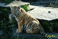 Sibirischer Jungtiger (Geralds-Raubtiere) Tags: zookln flickrbigcats sibirischerjungtiger