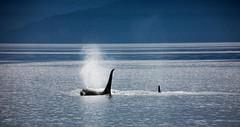 ocean alaska orca humpbacks killerwhale mobydick blackfish intheheartofthesea
