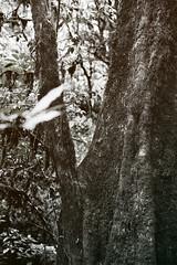 Mossy Tree (__stuart__) Tags: park travel blackandwhite black tree nature monochrome digital canon thailand prime blackwhite nationalpark moss dof bokeh hike mai national l chiang doi inthanon canonef35mmf14lusm canon7d