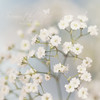 Babies Breath (Samantha Nicol Art Photography) Tags: white flower art nature babies breath samantha delicate nicol