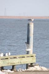 Birthday Gull (eyriel) Tags: sun snow bird water bay warm post gull gulls herringgull