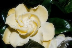 Gardenia - Rich Beauty (Paul Sibley) Tags: white flower photoaday gardenia nikond60 3652014