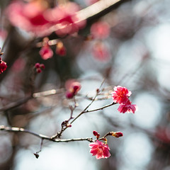 Chery blossom in Hong Kong... (anthonyleungkc) Tags: pink ed hongkong olympus cherryblossom sakura f18 omd lightroom cheungchau 75mm m43 mft mzd em5 microfourthirds mzuikodigital