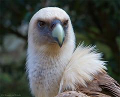 Gyps fulvus (Glenn van Windt) Tags: nature birds vogels natuur aves gypsfulvus canonef400mmf56lusm mygearandme mygearandmepremium mygearandmebronze mygearandmesilver mygearandmegold mygearandmeplatinum mygearandmediamond