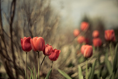Popping Up All Over (T-3 Photography) Tags: plant flower nature canon 50mm tulip 5dmarkii