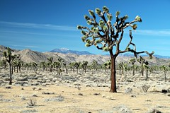 San Bernadino Mountains from Joshua Tree National Park (zeesstof) Tags: park nationalpark desert joshuatree granite geology joshuatreenationalpark zeesstof