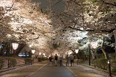 (GenJapan1986) Tags: travel japan night aomori   cherryblossoms  2014      nikond600