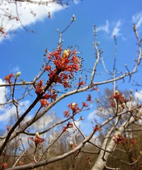 spring maple blossom (tquist24) Tags: flower macro spring maple blossom samsung indiana elkhart samsunggalaxys3