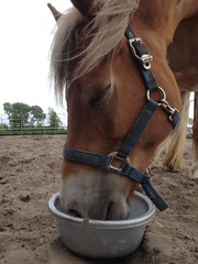 Happy Meal :-) (gill4kleuren - 14 ml views) Tags: life horse me sarah fun outside happy running gill saar paard haflinger