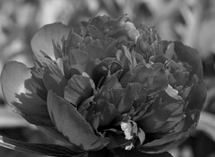 Red Peony (IanAWood) Tags: blackandwhite bw monochrome peony mygarden rickmansworth flowermacro flowercloseups flowersofspring walkingwithmynikon nikond800e nikkorsfsmicro105mmf28gvr