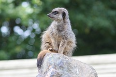Simples! (ali_e_lloyd) Tags: animal canon meerkat canondslr simples canonphotography