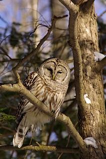 2015_0215Barred-Owl0011
