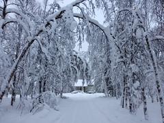 The little house beyond natural snow-laden arches (Kirkleyjohn) Tags: trees winter snow finland lapland snowfall finnishlapland harriniva