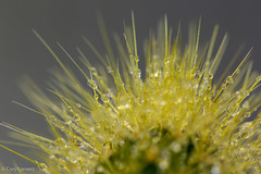 """Cactus Close-Up With Water Droplets • <a style=""""font-size:0.8em;"""" href=""""http://www.flickr.com/photos/92159645@N05/16220615287/"""" target=""""_blank"""">View on Flickr</a>"""