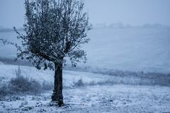 Olivier sous la Neige (2t0m) Tags: neige olivier stlon lauragais