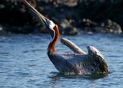 Galapagos-20140714-1808-BK2W6326-Edit (Swaranjeet) Tags: birds pelican pelicans galapagos ecuador bird largebirds july2014 canon fullframe 1dx eos1dx dslr sjs swaran swaranjeet swaranjeetsingh sjsvision sjsphotography swaranjeetphotography 2014 eos canoneos1dx 35mm ef pro 200400 canonef200400mm canonef200400mmf4lisusm14x singh photographer thane mumbai india indian