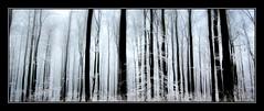 Nebliger Winterwald - Foggy winter forest. (Haldorfer) Tags: wood schnee winter snow tree nature fog forest germany season landscape deutschland frost nebel hessen jahreszeit natur trunk holz ste landschaft wald bume allemagne baum germania kassel hesse dunst reif stamm beeches baumstamm buchen nordhessen haldorfer jrgenkrug