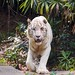 """White Tiger • <a style=""""font-size:0.8em;"""" href=""""http://www.flickr.com/photos/128593753@N06/16349152698/"""" target=""""_blank"""">View on Flickr</a>"""