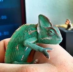 10928865_1042709915742821_8235167219621090388_n (Tomi22) Tags: cute green animal hungary veiled reptile disney pascal predator chameleon iphone zöld chameleo kaméleon sisakos hüllő iphone6