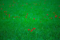 Red Poppy on Green Corn (wide-angle.de) Tags: flowers digital germany de top500 y201408flowers y201408