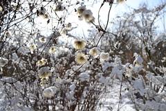 Fluffy Snow Balls 2 (Lieselotte) Tags: schnee winter snow garden munich mnchen bayern bavaria oberbayern fluffy anemones