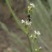 tall buckwheat, Eriogonum elatum var. elatum