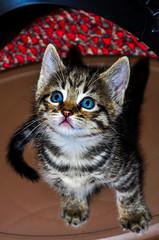 040 (jlucierphoto) Tags: blue cats cute cat eyes kitten feline tabby tiger fluffy kittens playful