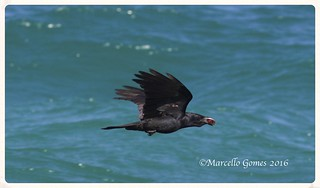 Fish Crow (Corvus ossifragus) FICR - Living it up to its name in an unusual background....