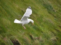 Tricky Landing (Karls Kamera) Tags: gull flight landing gliding stbees
