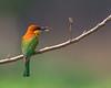 খয়রামাথা সুইচোরা, Chestnut-headed Bee-eater, Merops leschenaulti (Emu Alim) Tags: birds chestnutheadedbeeeater meropsleschenaulti nikond4 nikonafsnikkor800mmf56efledvr nikonafsnikkor800mmf56e খয়রামাথাসুইচোরা